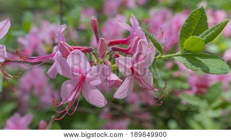 Blooming beautiful pink rhododendrons in the garden. Macro