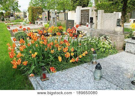 plenty of beautiful bright yellow and orange tulips growing on the grave in spring, Frydek-Mistek, Czech Republic, May 16, 2017
