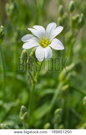 close photo of white bloom of field mouse-ear (Cerastium arvense)
