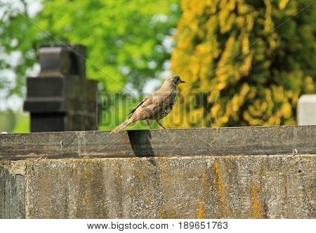 song thrush (Turdus philomelos) sitting on the tombstone