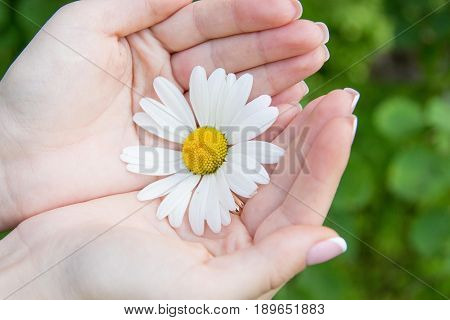 Female hands and chamomile. Woman holding a daisy. Manicure.