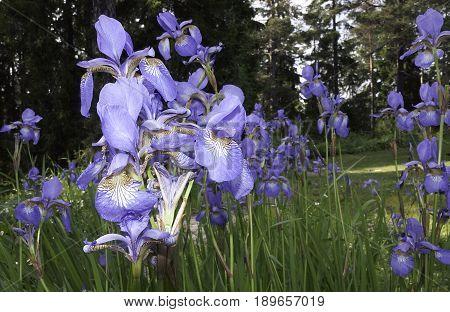 Beautiful blue Iris flowers blossoming on midsummer Sweden.
