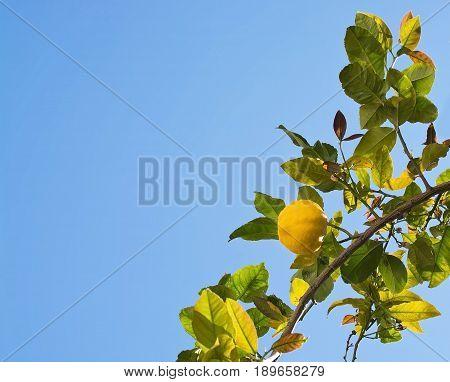 Fresh Ripening Lemons And Flowers