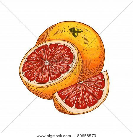 Red orange fruit sketch. Vector isolated icon of fresh whole and cut slice tropical orange or tangerine citrus fruit for jam and juice drink product label or grocery store and farm market design