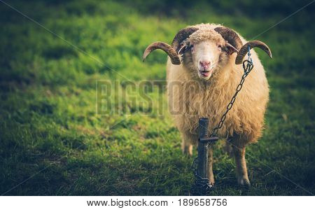Twisted Horns Sheep in Lesser Poland Europe. Farm Animal Theme.