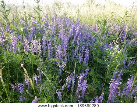 Beautful Violet Flowers In A Meadow