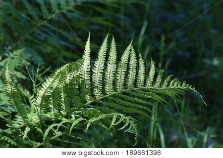 Fern leaf / spring ferns in the forest