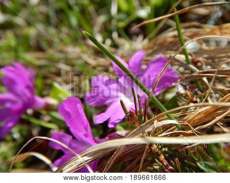 Detail Of A Pink Alpine Flower