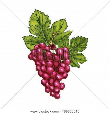 Red grape fruit sketch. Vector isolated icon of fresh grapes berries cluster. Sweet juicy grape bunch symbol for jam and juice, raisins product label or grocery store, shop and farm market design