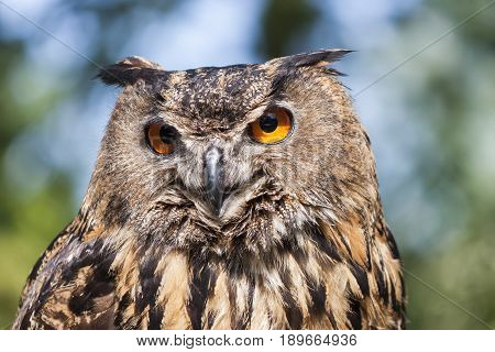 Closeup of a magnificent exemplar of Royal owl