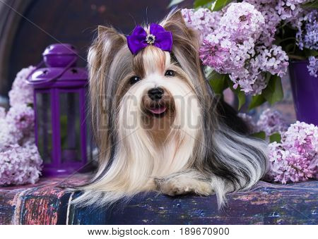 Beaver Terrier and lilac flowers