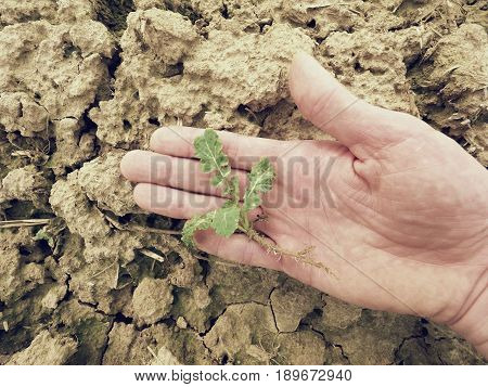 Farmer Hand Hold  Rapeseed In Spring Field. Agriculturalist Check Quality Of Flower, Pests