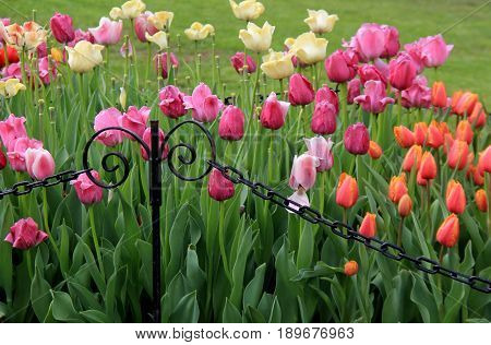 Horizontal image of bright and colorful tulips in pretty landscaped garden