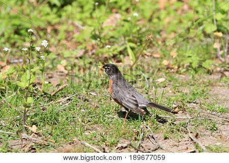 American Robin in early spring on ground
