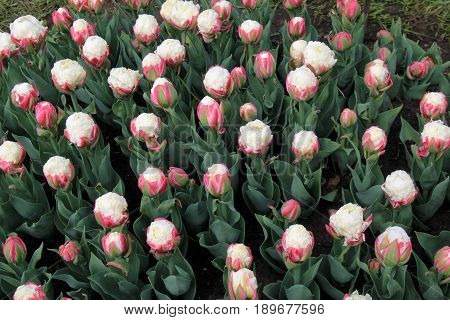 Horizontal image of landscaped garden with bed of 'Double Late Ice Cream Tulips.'
