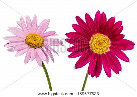 Flowers Of Pyrethrum, Isolated On White Background