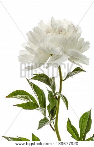 White Flower Of Peony, Lat. Paeonia, Isolated On White Background