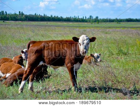 Calves graze on the large field, a small cow and looks