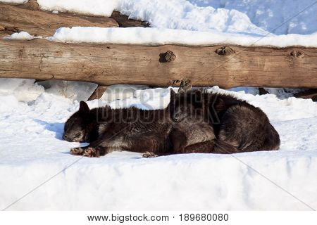 Two black canadian wolves sleep in the spring sun. Animals wildlife.