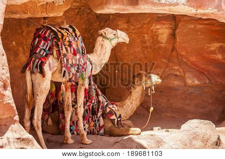 Colorful Bedouin camels hiding in the shadow in the historical archaeological park of Petra in Jordan.