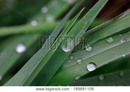 Green sappy grass after rain with dew droplets. Beautiful in nature.