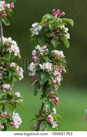 Crab Apple Tree In Blossom