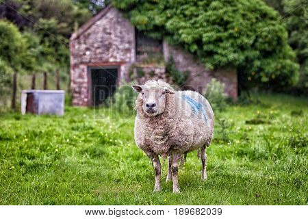 Curious Sheep Stood In A Field With  A Shelter Behind
