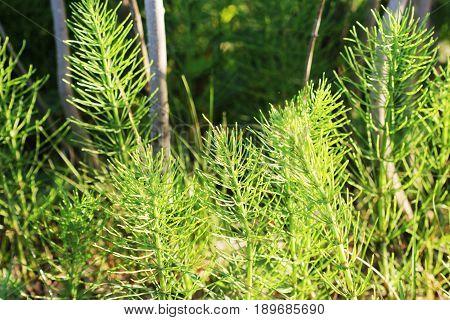 Wild plants - green background of horsetail or Tolkachik or Equisetum arvense . Common Horsetail in spring .