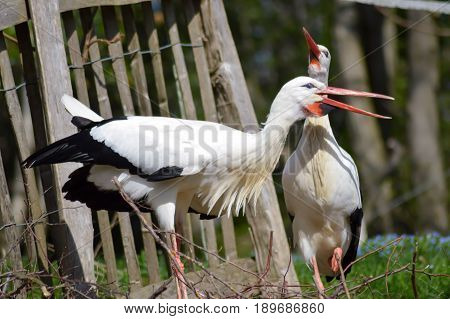 Two storks in a wood in front of a tree trunk