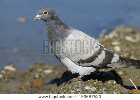 A young juvenile feral Pigeon at the edge of a stream