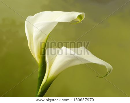White specimen of beautiful fresh calla flowers