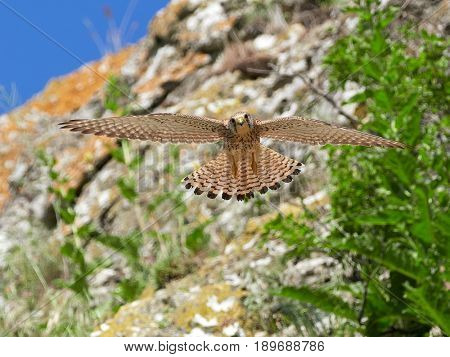 falcon flying in natural habitat (falco tinunculus)