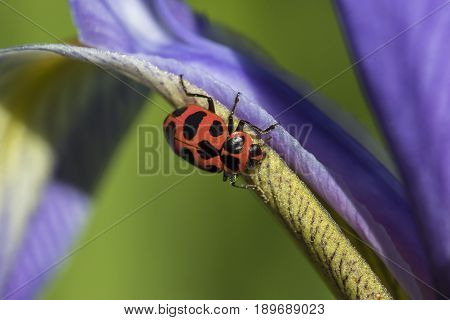 Ladybird Beetle Crawling On Blue Flag Iris