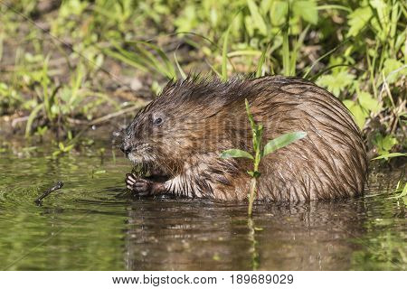 Muskrat (Ondatra zibethicus) grazing on aquatic plants - Pinery Provincial Park Ontario Canada poster