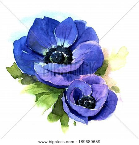 Flower Blue Anemone. Hand drawn watercolor illustration