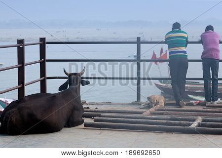 VARANASI, INDIA - JANUARY 3, 2016: Indian men and buffalo resting together on the ghat near the Ganges river