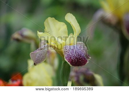 beautiful two colored yellow and pink with spots garden iris flower in bloom