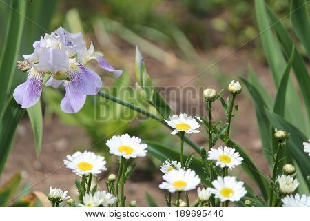 decoration for summer garden white daisy in bloom and high light blue iris  flowers