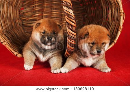Shiba Inu puppies in a basket on red background. Studio shot.