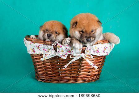Shiba Inu puppies in a basket on green background. Studio shot.