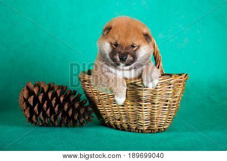 Shiba Inu puppy in a basket on green background. Studio shot.
