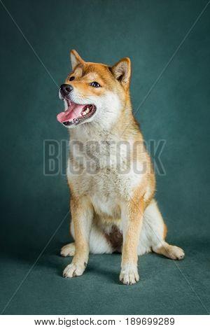Shiba Inu puppy sits on a green background