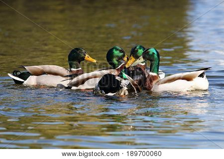 Four mallard drakes competing for the attention of a female