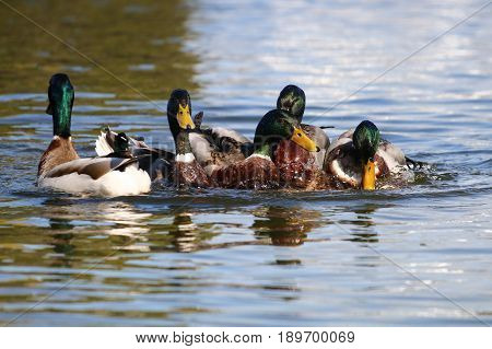 Male mallards mating with a submerged female