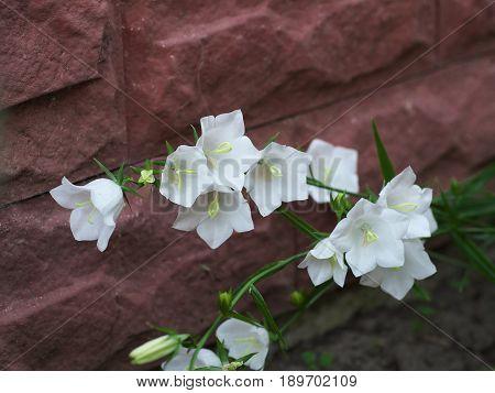 White Campanula flower Macro photo closeup white bellflower on stone background.