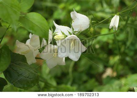 White Campanula flower Macro with dew drops closeup white bellflower.