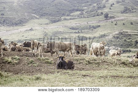 Free Cows In The Mountains
