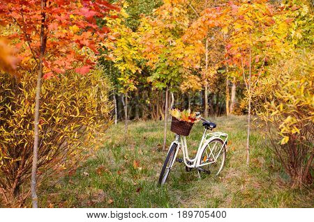 White retro style bicycle with basket with orange, yellow and green leaves, parked in the colorful fall park among trees