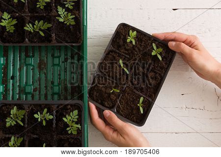 Top view on woman's hands holding plastic container with young baby plants growing on fertile soil. Agriculture. Small Growing Cantaloupe Sprouts on white background. Garden grow vegetables. Eco.