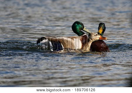 Mallard drakes trying to force a mating with a female